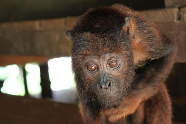 Monkey in the amazon jungle photo