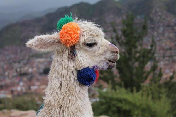 Alpaca in Cusco photo