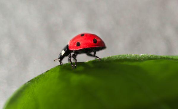 Ladybug walking on a leaf photo