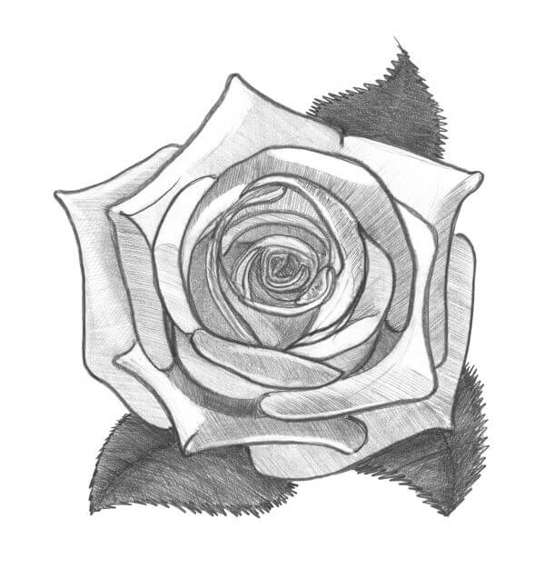 Rose. Pencil drawing. Monochrome image. photo