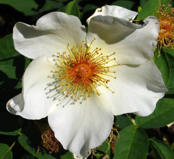white wild rose photo