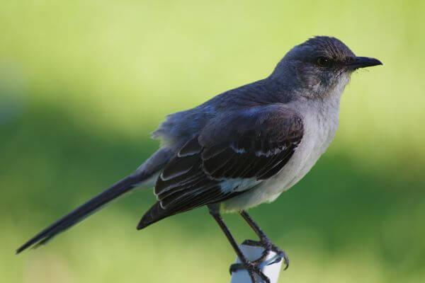 Mockingbird photo
