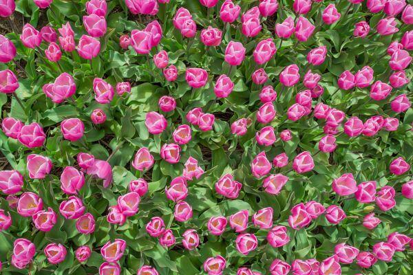 Export tulip bulbs photo