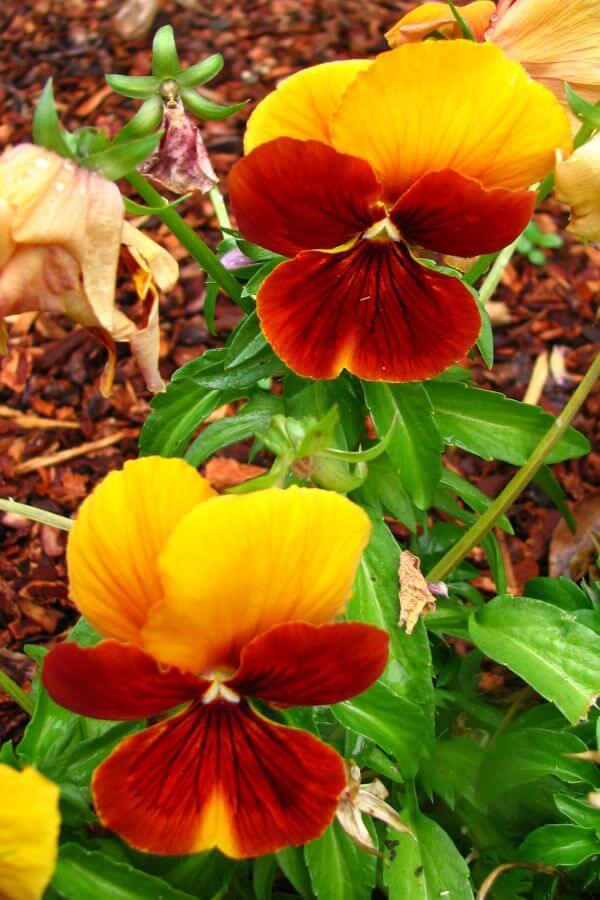 orange and yellow violas photo