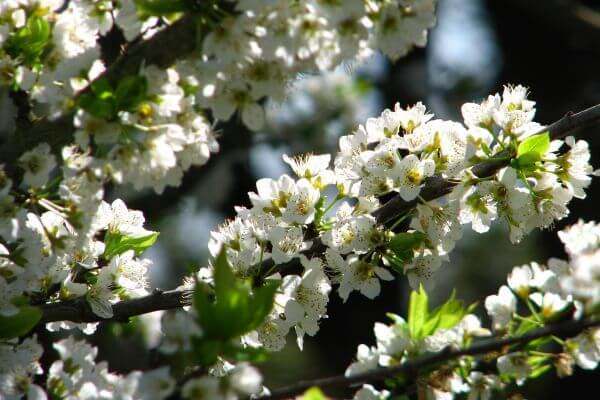white fruit-tree blossoms 2 photo