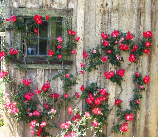 window and wall with climbing roses photo