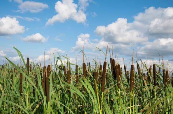 Waving reeds photo