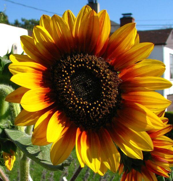 red-and-yellow sunflower photo