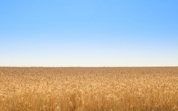 A golden field photo