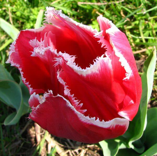 red-and-white fringed tulip 2 photo