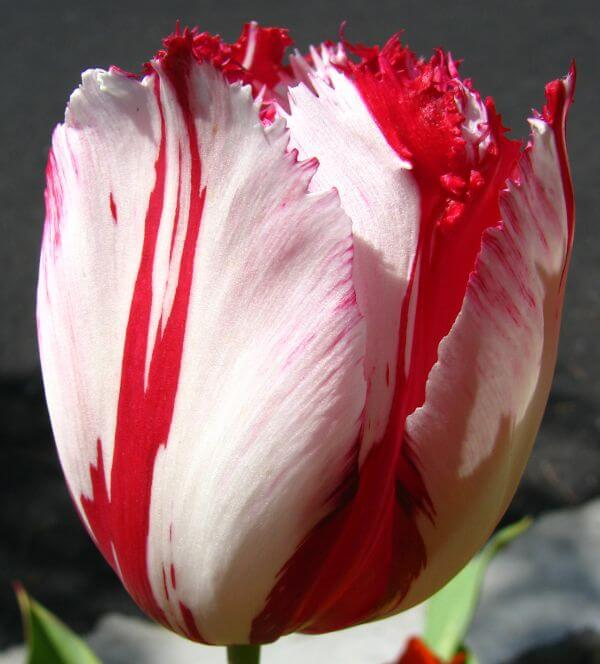 red-and-white fringed tulip 1 photo