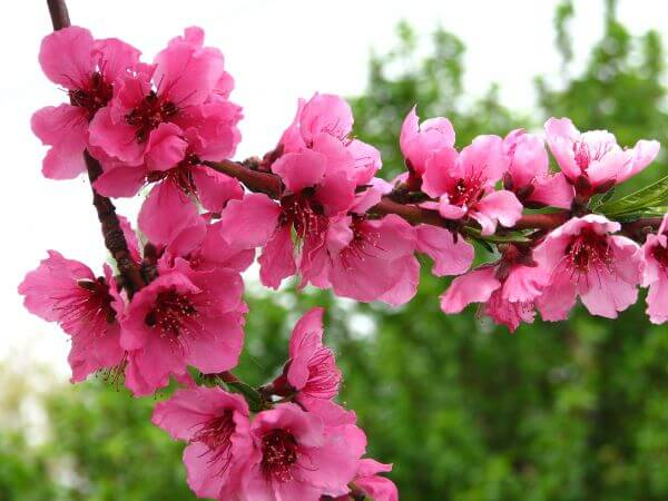 pink fruit-tree blossoms 1 photo