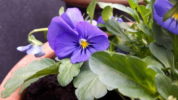 violets in pot photo