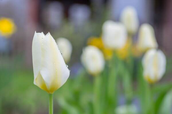 White tulip photo