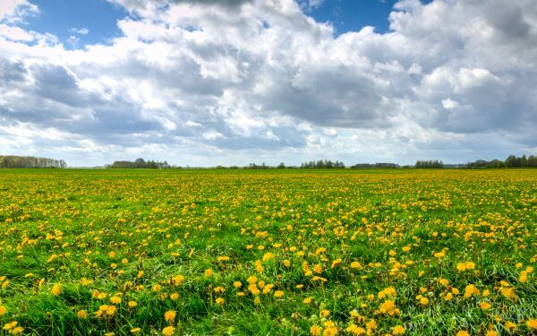 Field of dandelions photo
