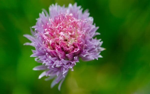 Chives bloom photo