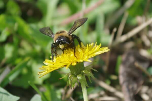 Carpenter Bee on Yellow Flower photo