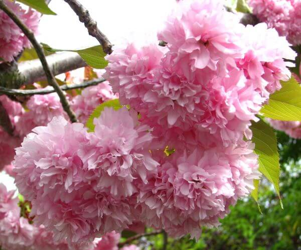 fluffy pink fruit-tree blossoms photo