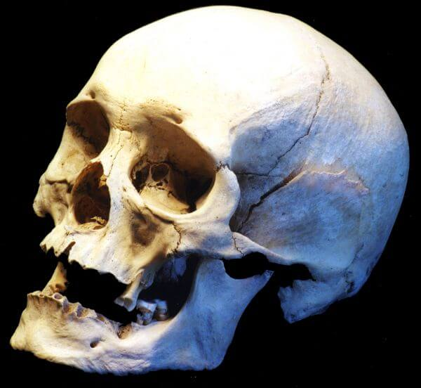 human skull, side view photo