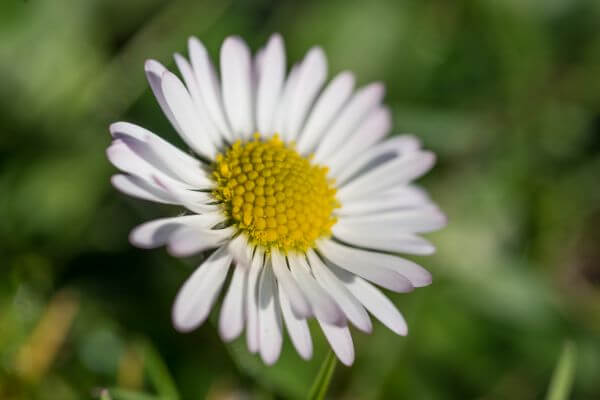 Daisy close up photo