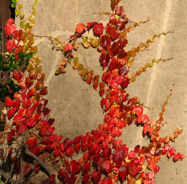 red leaves on tan wall photo