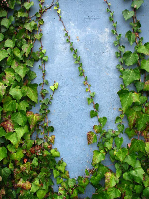 ivy on blue wall photo
