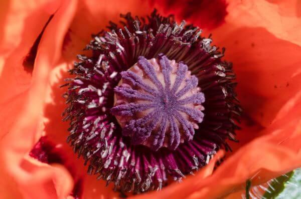 Big poppy photo