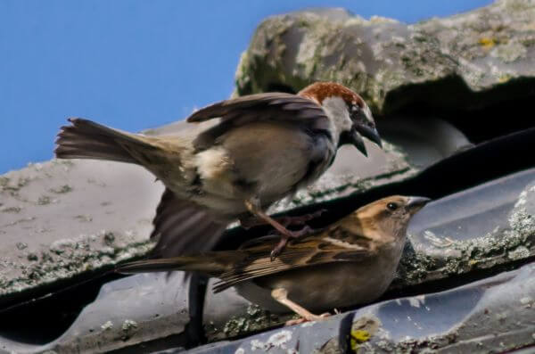 sparrows photo