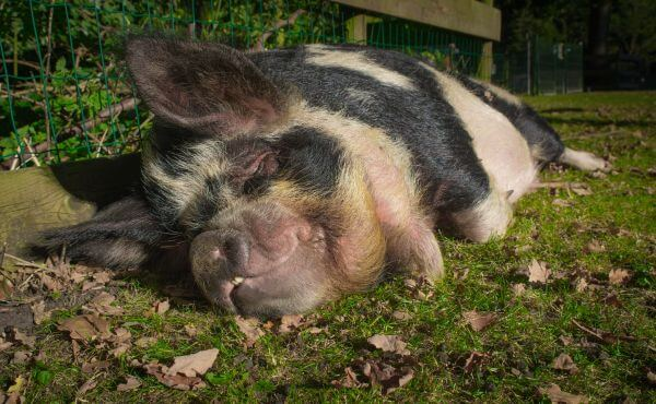 Swine photo