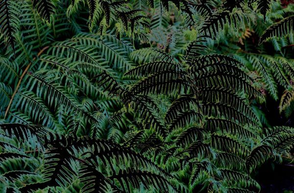 night ferns photo