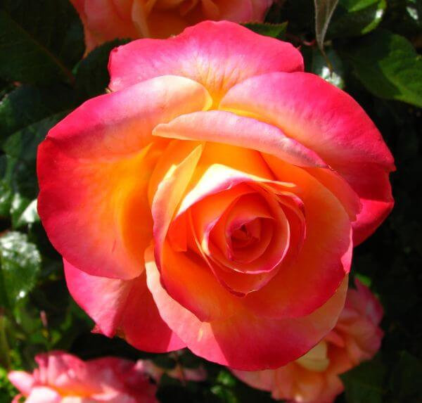 pink-orange-yellow rose photo