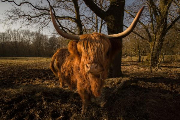 Scottish Highlander photo