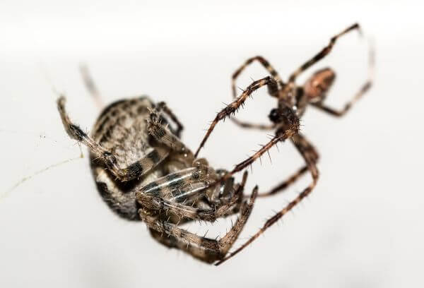 Spiders mating photo