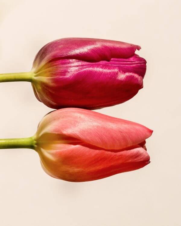 Pair of tulips photo