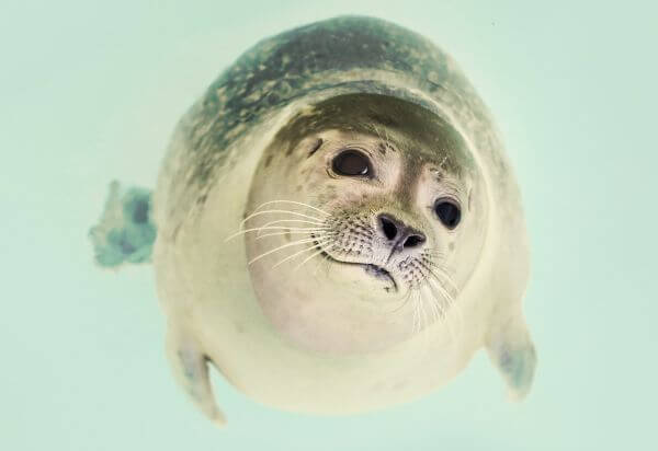 Seal close up photo