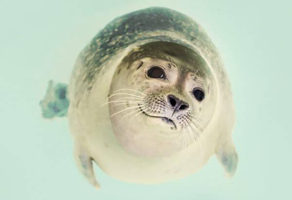 Seal close up photo