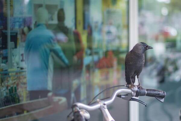 Crow on bike photo
