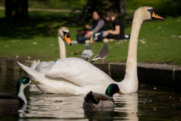 Swans in the park photo