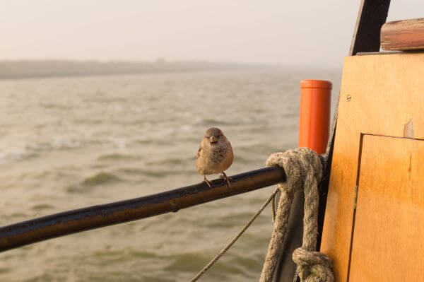 Sparrow on a boat photo