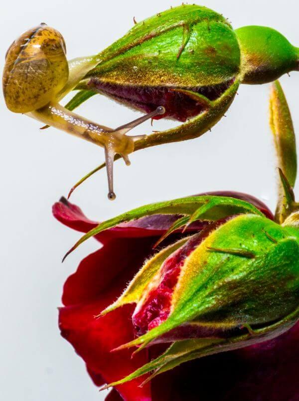 Snail on a rose photo