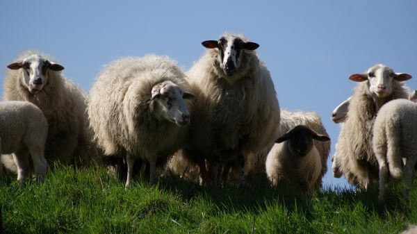 Family sheep photo