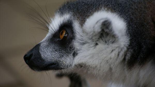 Close up of a lemur photo