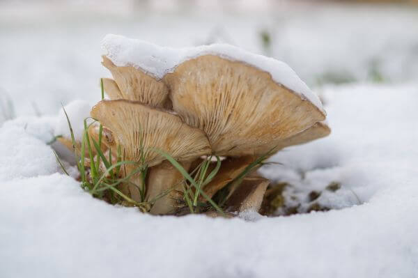 Mushrooms covered in snow photo