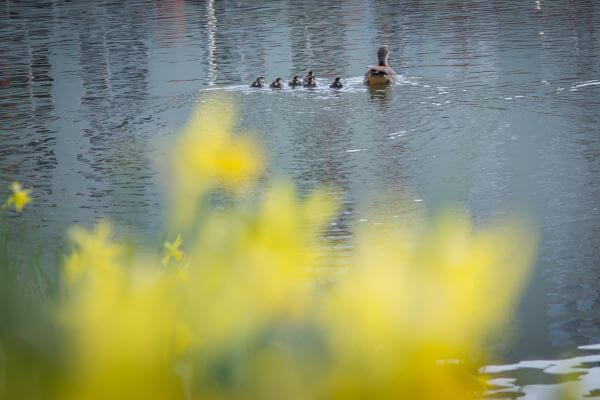 Family duck photo