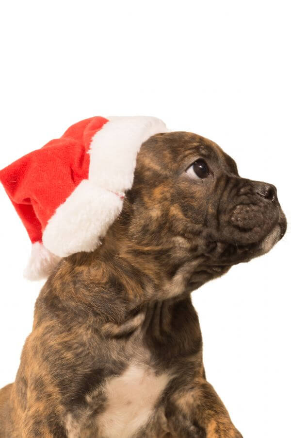 Christmas puppy photo