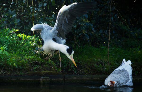 Heron scares a goose photo