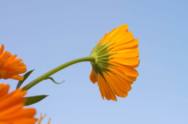 Marigold flower photo