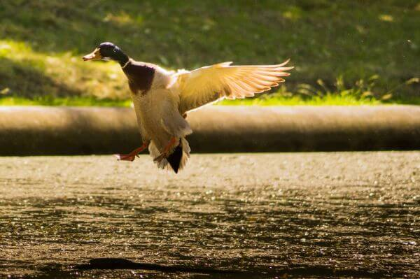 Landing duck photo