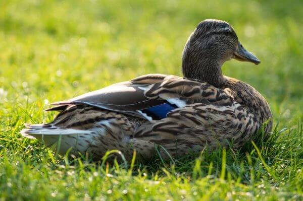Sitting duck photo