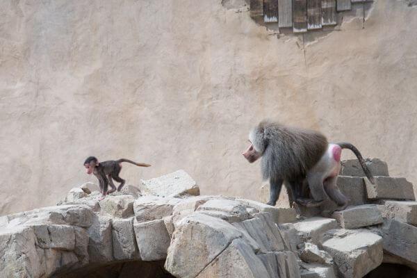Baboon race photo